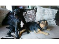 Patterjack pups for sale