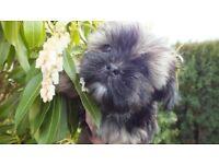 Yorkshire Terrier cross ( Shorkie, Yorkie Tzu) pedigree puppies £ 650
