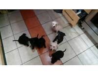 Puppies 4sale