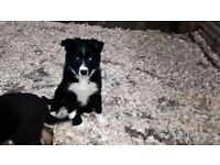 Sheepdog Pups ISDS Registered