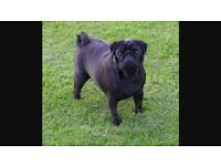 Pug puppies for sale kc reg