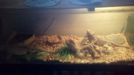 Male female bearded dragons for sale complete with 3ft tank set up