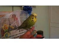 Budgie /Parakeet Boy Looking For New Loving Home