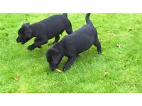 Black Labrador male puppies for Sale