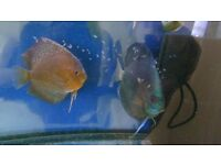 discus fish proven with 2 week olds x at least 30
