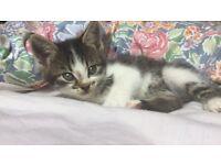 One lovely female British Shorthair X kitten for sale: £100.00.