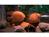 2 x Large Golden Severums