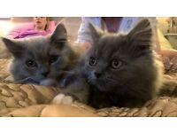 Beautiful bespoke blue Persian/Burmese kittens. Two to go - Now!