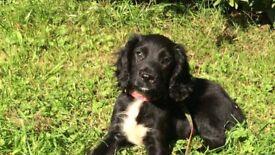 Cockerpoo dog puppy