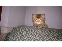Beautiful Somali / British Shorthair kittens for sale