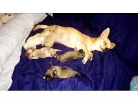 Chihuahua dog puppies