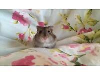Female Hamsters