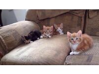 BRITTISH SHORTHAIR X KITTENS 3 x Ginger and 2 Tortoiseshell Litter trained Very cuddly.