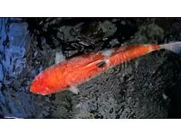 Japanese koi for sale - last few - amazing prices