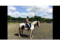beautiful 15.1hh 8y.o mare for sale