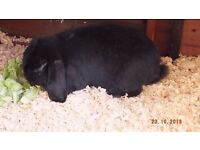 Giant french lop male rabbit for sale £25