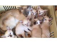Aprikat Pedigree Siamese kitten