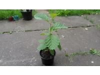 Common Alder (Alnus glutinosa) Tree For Sale