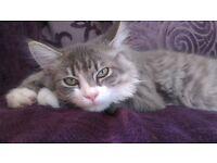 Grey Snowshoe Ragdoll Kitten