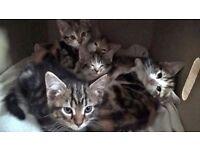 Stunning Tortioshell & Tabby Kittens !