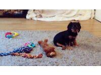 Kc registered cavalier King Charles puppy