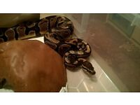 Male Normal het Albino + Pied Ball python CB15