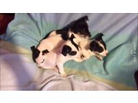 2x Jack Russell puppies for sale