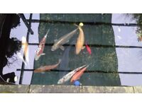 Free Koi Carp and gold fish