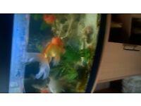 oranda goldfish for sale various sizes medium to extra large