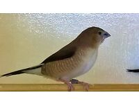 Mixed Silverbills for Sale
