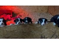 border collies puppies for sale