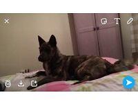 Beautiful Akita pup