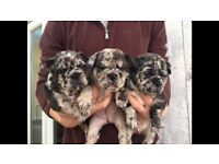 French bulldog puppies Merle blue chocolate carrying AT