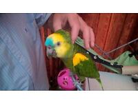 A Beautiful Female Blue Fronted Amazon Parrot