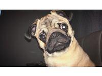 Stunning KC pug for sale