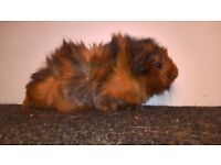 Pure Bred Abyssinian Guinea Pigs For Sale