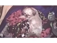 Pedigree Shih Tzu Puppies - 1 Girl & 2 Boys (Ready end March)