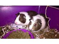 baby Guinea pigs girls
