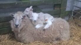 Sheep, Alpaca and Goat Shearing Aberdeenshire and Moray
