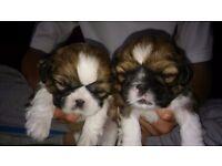 3 gorgeous shih tzu puppies
