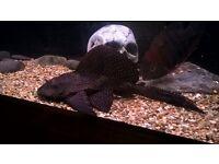 tropical fish oscar an sail fin pleco
