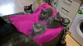 Stunning Grey Kittens