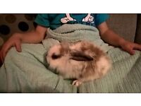 Baby lionhead rabbits looking for loving home