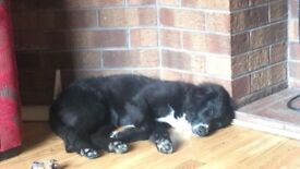 Lab/Collie for sale