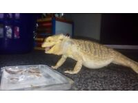 Male bearded dragon for sale very tame. 07720606339