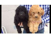 Poodle X puppies