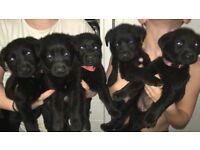 Ladrador X puppies