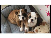 Kc bulldog puppies boys ready at the weekend