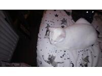 stunning white Russian male cat