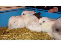 Mixed breed baby rabbits